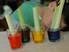 Celery & Food Coloring Experiment