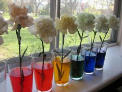 Carnations + Food Coloring = Rainbow Flowers